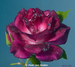 Underwater rose. Prevailing South Easter winds may force ... by Peet Van Eeden 